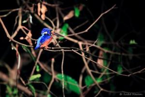 Sleeping kingfisher - night trek in the jungle